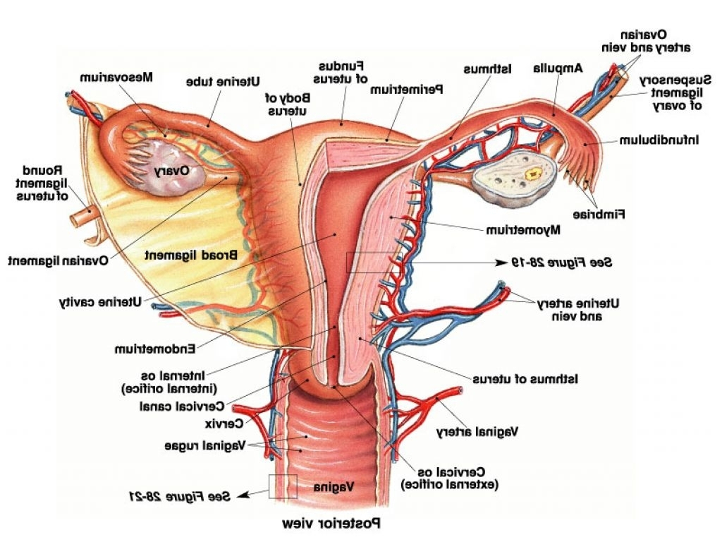 Human Female Reproductive System Diagram Female Anatomy Uterus