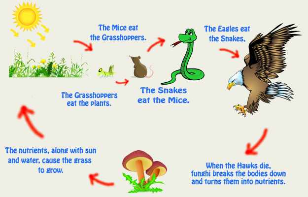 Examples Of The Food Chain Eschool